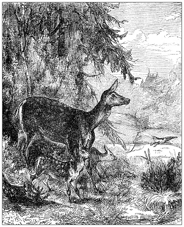 Antique illustration: Fallow deer
