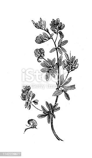 istock Antique illustration from agriculture encyclopedia, plant: Alfalfa, lucerne, Medicago sativa 1142226677