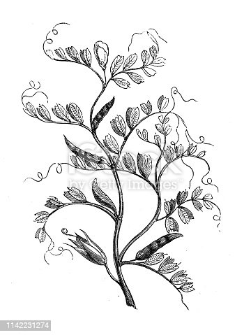 Antique illustration from agriculture encyclopedia, plant: autumn vetch