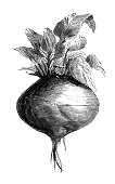 Antique illustration from agriculture encyclopedia, plant: Beta vulgaris (beet)