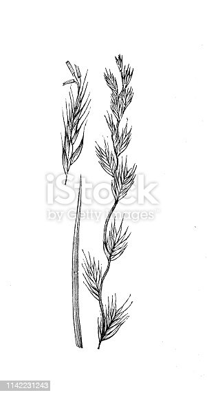 Antique illustration from agriculture encyclopedia, plant: Lolium perenne, perennial ryegrass, English ryegrass, winter ryegrass, ray grass, rye grass