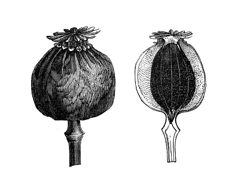 Antique illustration from agriculture encyclopedia, plant: Papaver somniferum, opium poppy, breadseed poppy
