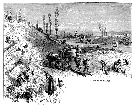 Antique illustration from school atlas: French Vineyard