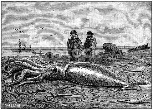 Antique illustration: giant squid (Architeuthis dux)