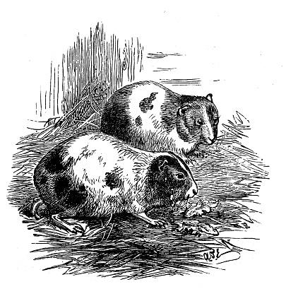 Antique illustration: Guinea Pigs