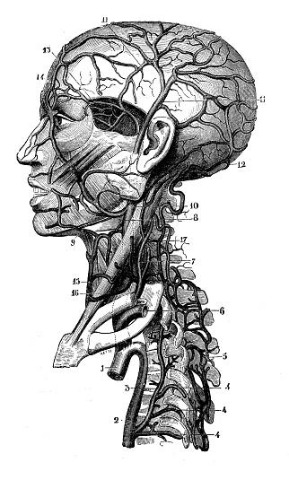 Antique illustration: Head veins and arteries