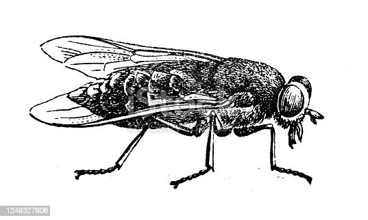 istock Antique illustration: Horse-fly 1246327606