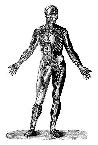 Antique illustration: Human body