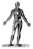 istock Antique illustration: Human body 1226980569