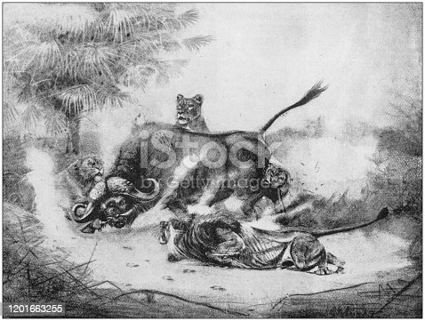 Antique Illustration: Lions attacking buffalo