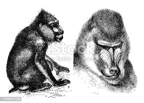 Antique illustration: mandrill (Mandrillus sphinx)