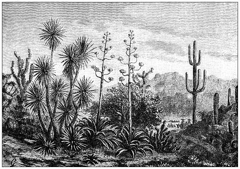 Antique illustration: Mexican plants