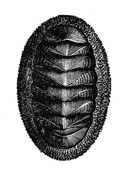 ilustrações de stock, clip art, desenhos animados e ícones de ilustração de um antigo chiton ou correio shell - lapa