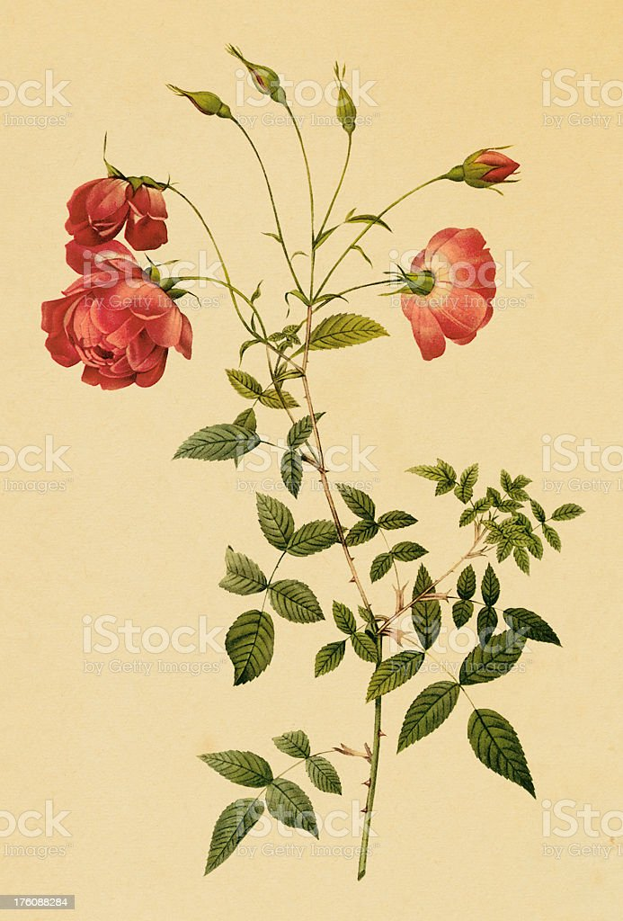 Antique illustration of a red tea rose with stem royalty-free stock vector art