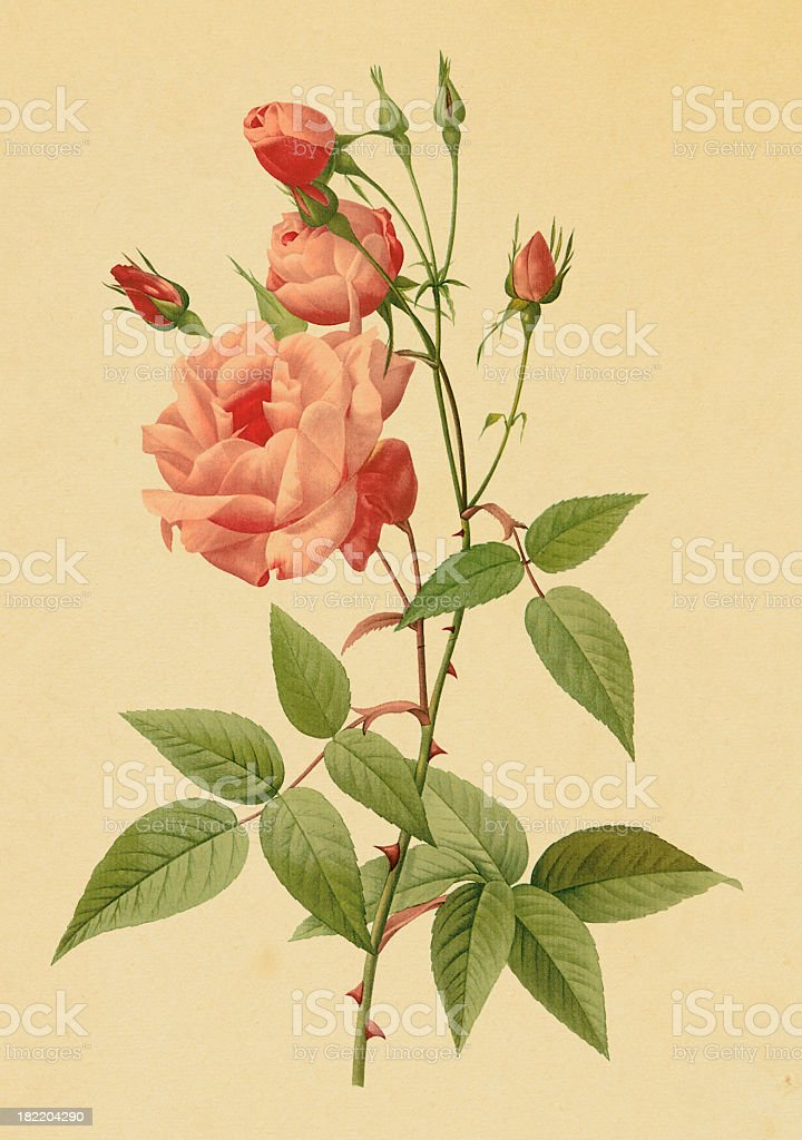 Antique illustration of a Tea Rose vector art illustration