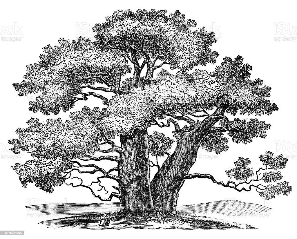 Antique illustration of Adansonia (Baobab) vector art illustration