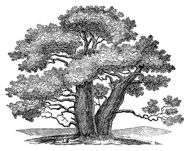 Anticuario ilustración de Adansonia (Baobab) - ilustración de arte vectorial