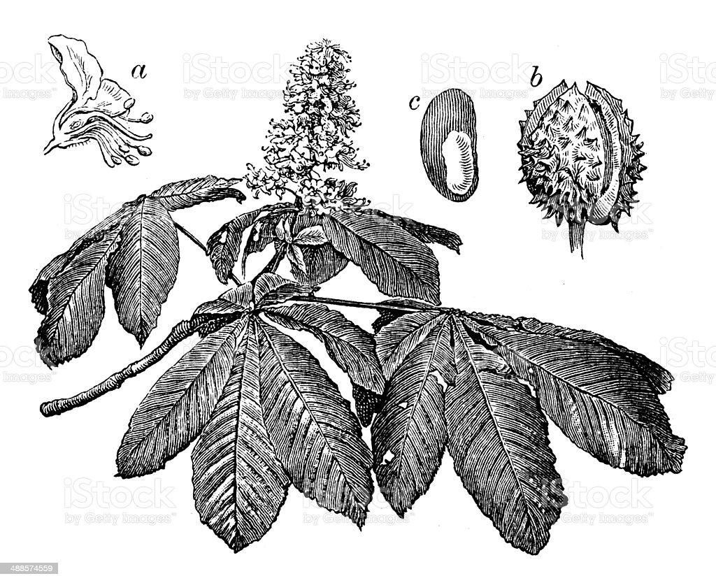 Antique illustration of Aesculus hippocastanum (horse-chestnut or conker tree) vector art illustration