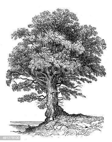 istock Antique illustration of alder 491279100