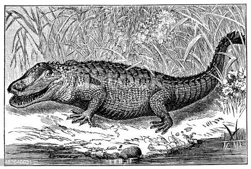 Antique illustration of American alligator (Alligator mississippiensis)
