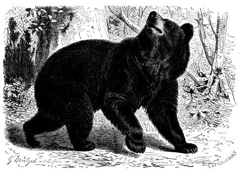 Antique illustration of American black bear (Ursus americanus)