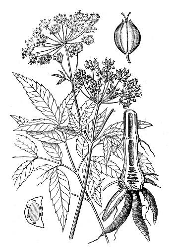 Antique illustration of American water hemlock (Cicuta maculata)