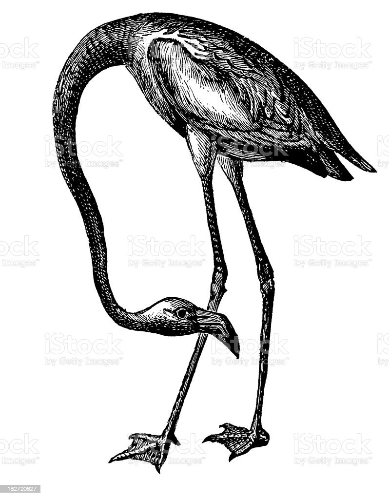 Antique illustration of an American flamingo in black ink royalty-free stock vector art