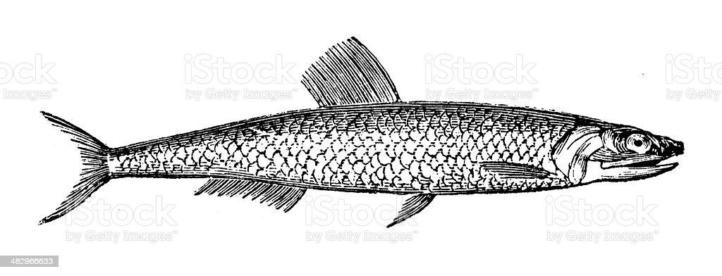 Anticuario ilustración de anchoa - ilustración de arte vectorial