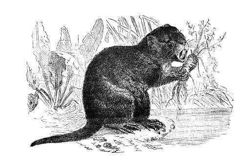 Antique illustration of animals: coypu (Myocastor coypus)