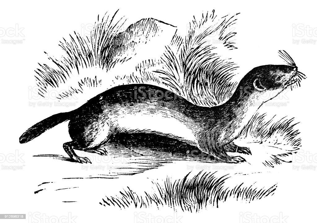 Antique illustration d'animaux: belette (Mustela nivalis) - Illustration vectorielle