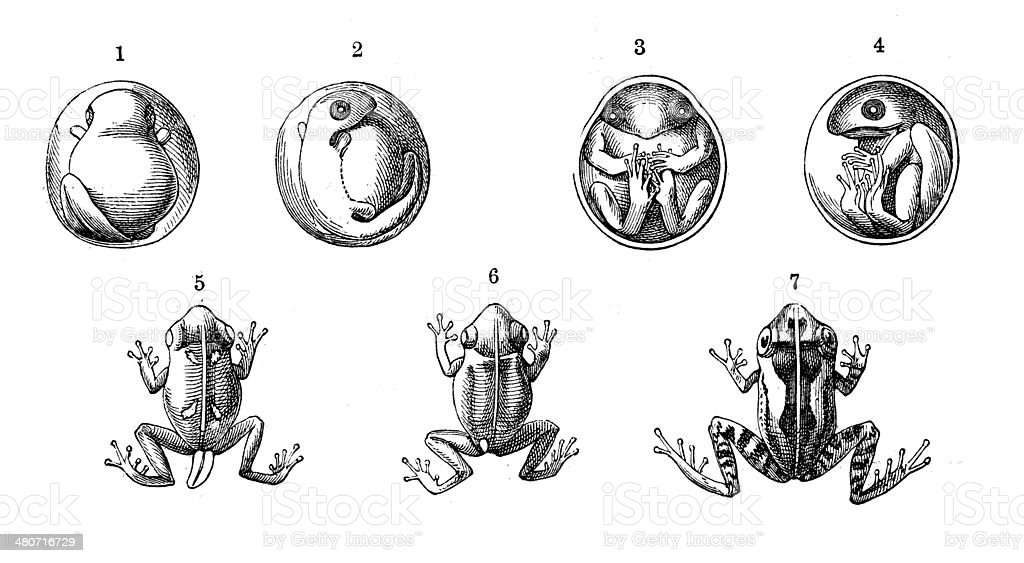 Antique illustration of Antilles coqui (Eleutherodactylus johnstonei) vector art illustration