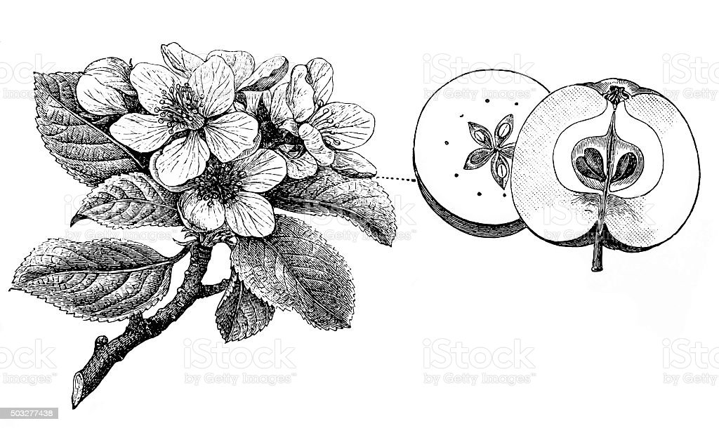 Antique illustration of apple tree vector art illustration