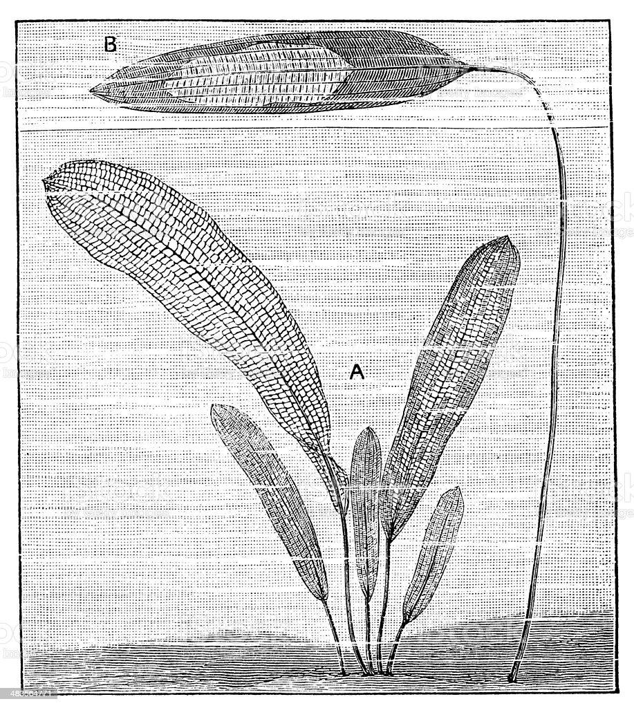 Antique illustration of aquatic plants vector art illustration