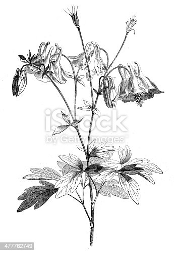 Antique illustration of Aquilegia (Granny's Bonnet or Columbine)