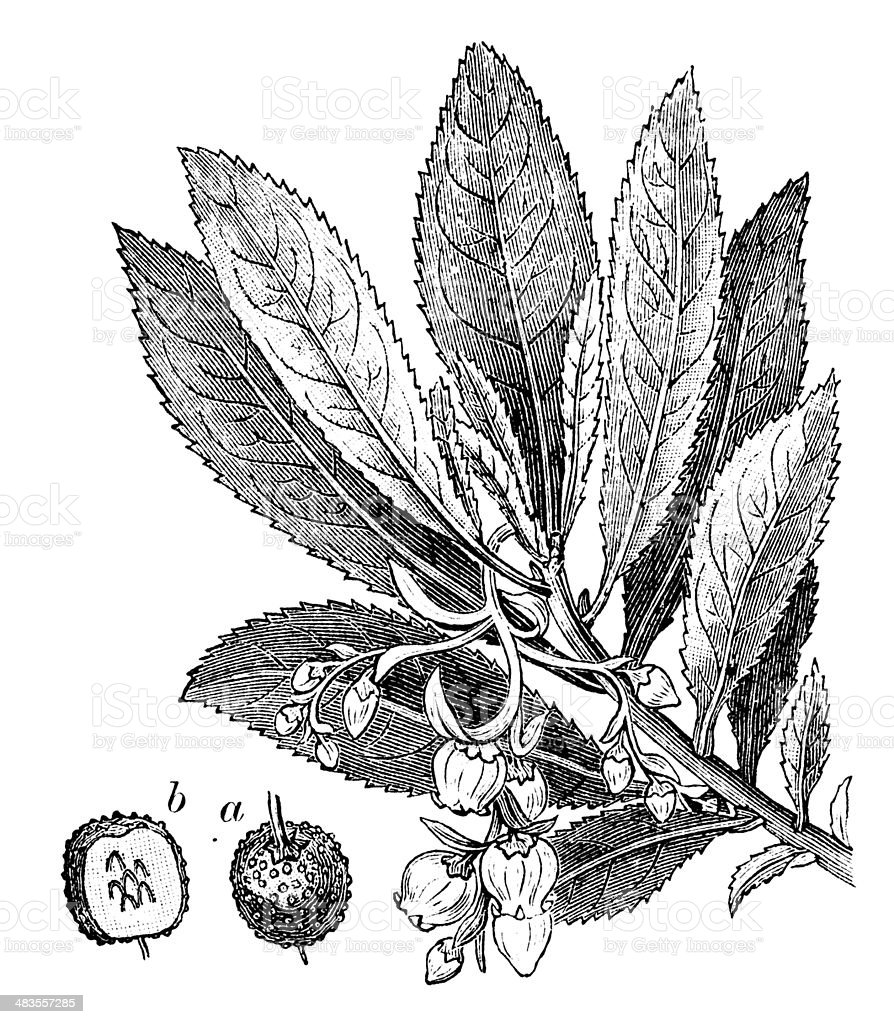 Antique illustration of Arbutus unedo (strawberry tree, cane apple) vector art illustration