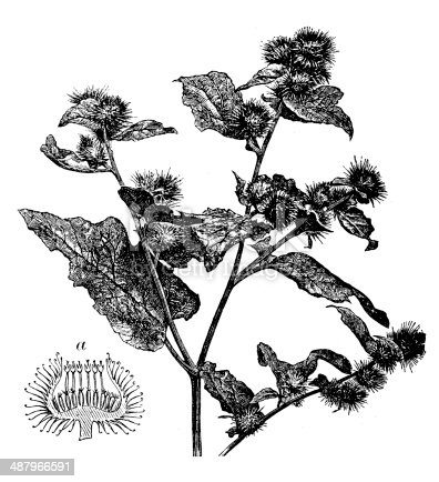 Antique illustration of Arctium lappa (greater burdock)