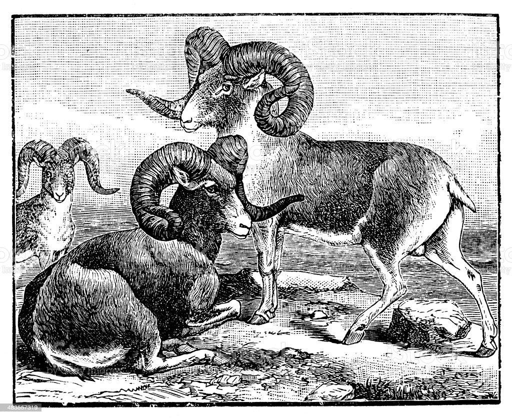 Antique illustration of argali sheep, mountain sheep (Ovis ammon) vector art illustration