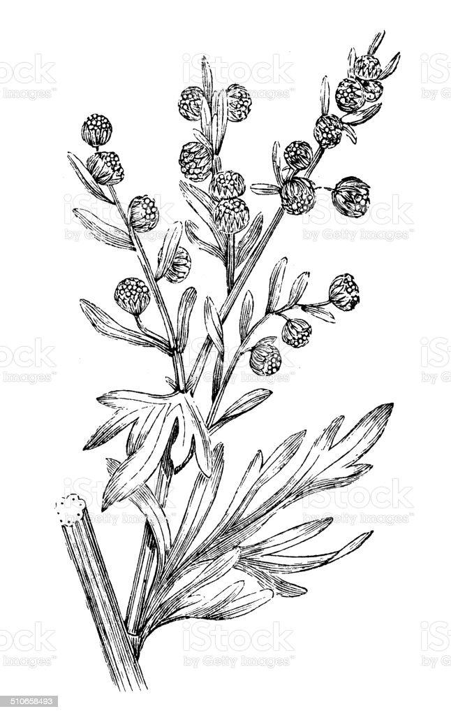 Antique Illustration Of Artemisia Absinthium Stock