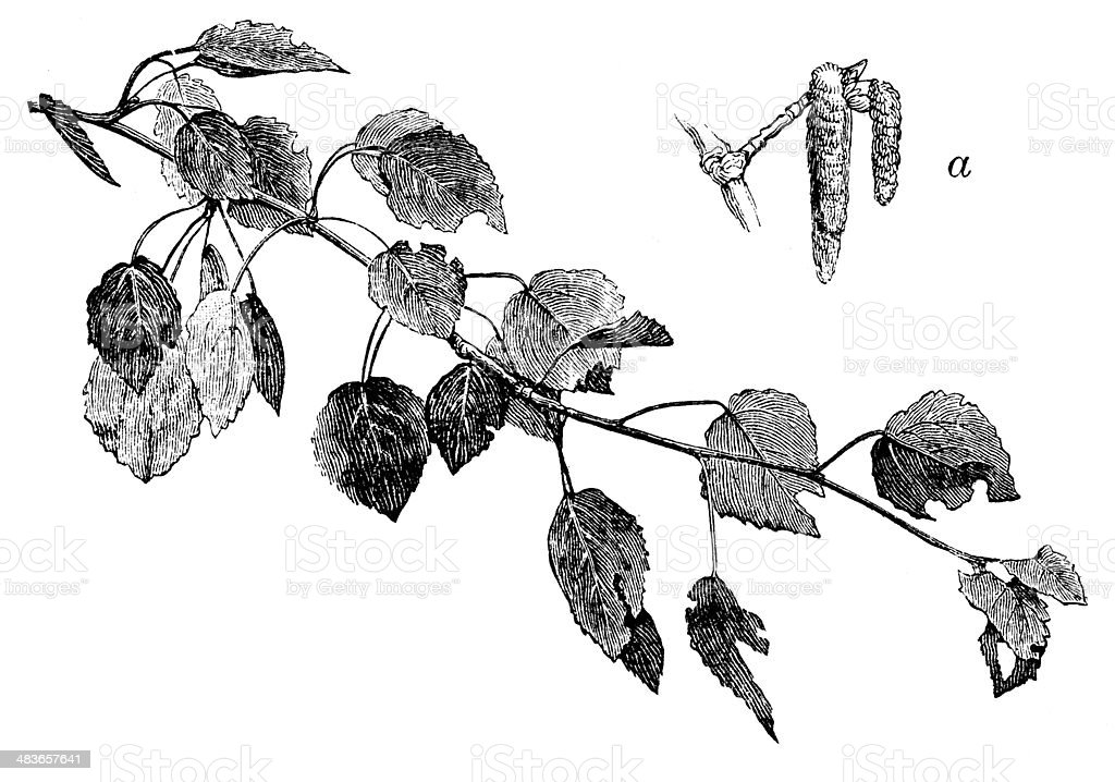 Antique illustration of aspen (Populus tremula) vector art illustration