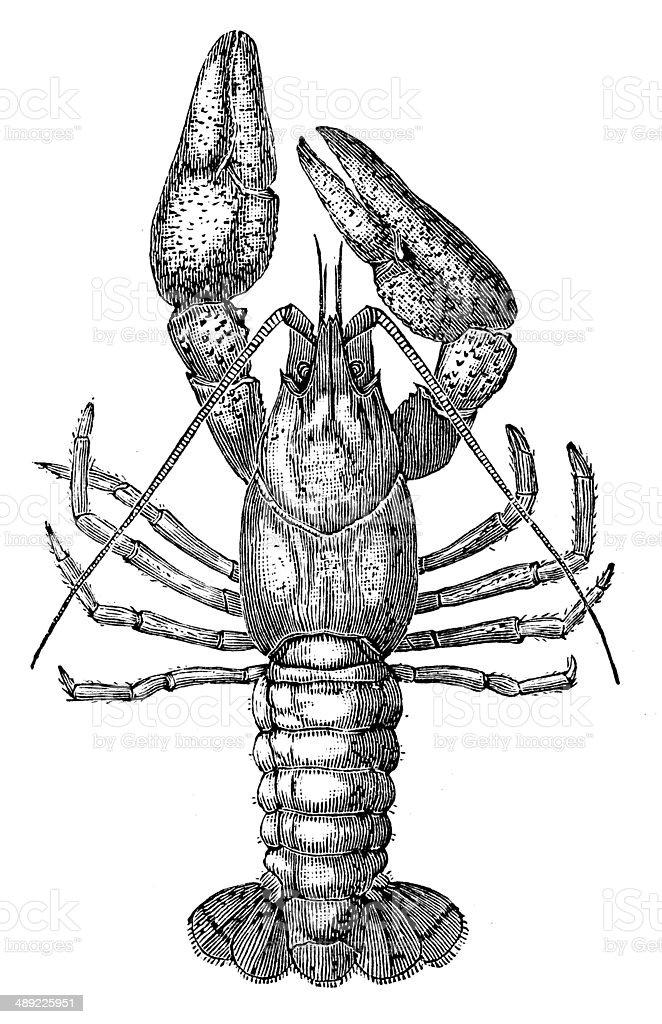 Antique illustration of Astacus astacus (European crayfish, noble crayfish) vector art illustration