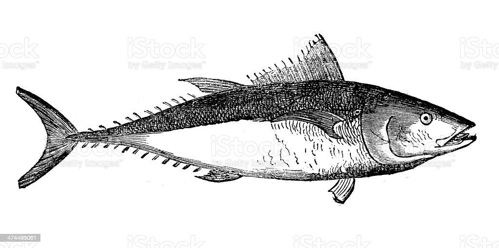 Antique illustration of Atlantic bluefin tuna (Thunnus thynnus) vector art illustration