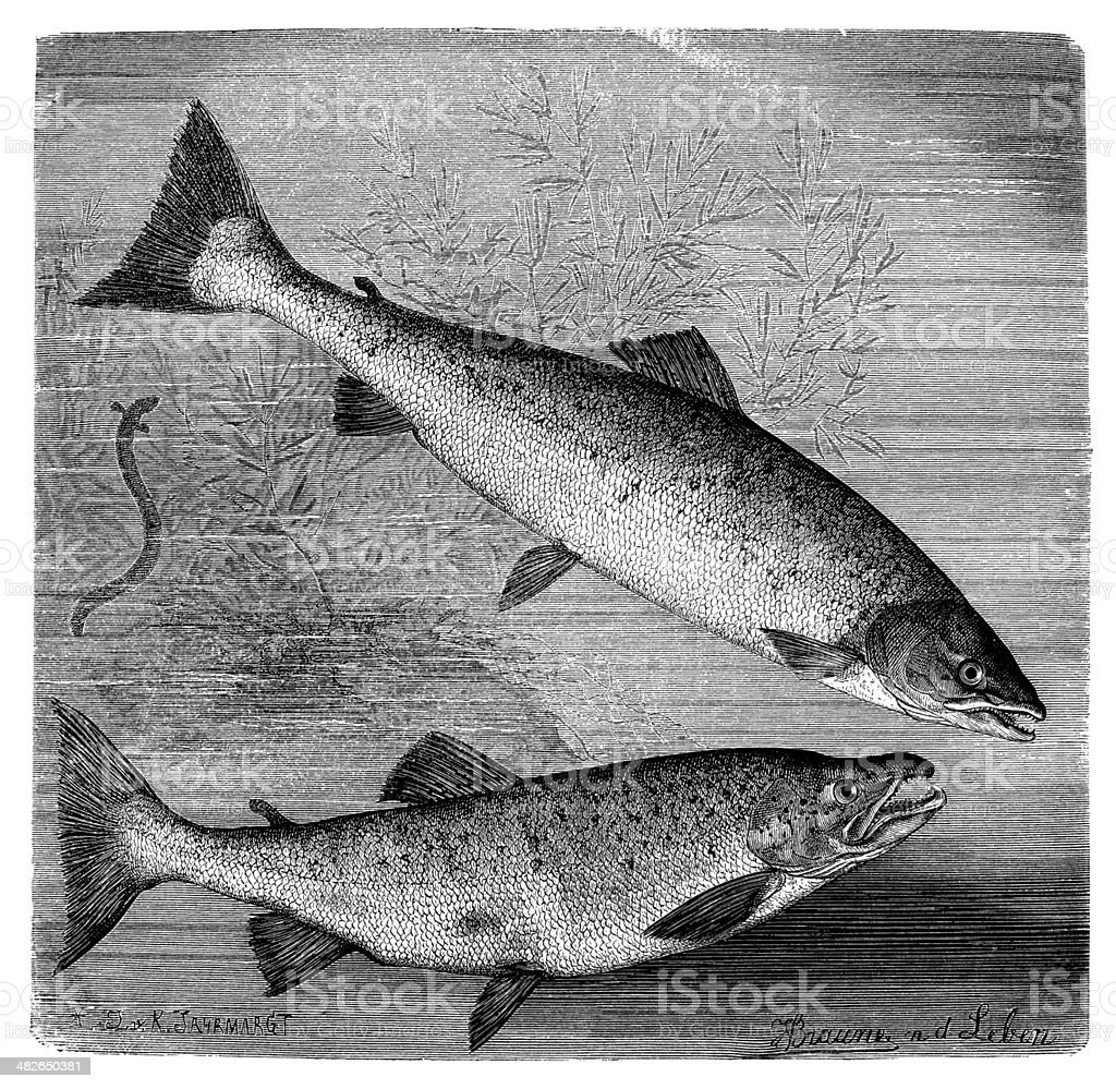 Antique illustration of Atlantic salmon and brown trout vector art illustration