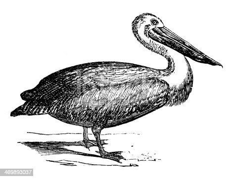 Antique illustration of Australian Pelican (Pelecanus conspicillatus)