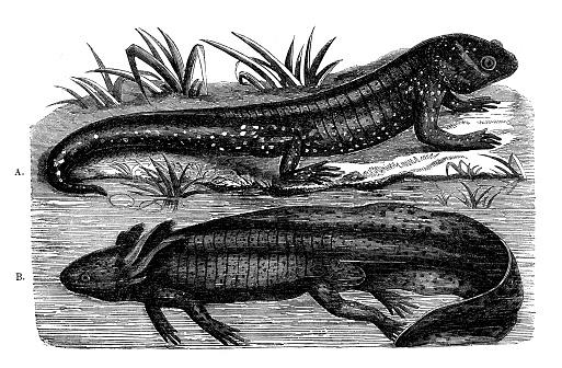 Antique illustration of axolotl