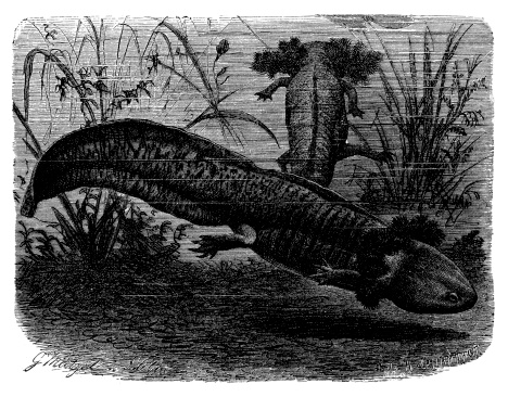 Antique illustration of axolotl or Mexican salamander (Ambystoma mexicanum)