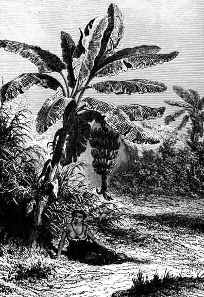 Antique illustration of Banana tree vector art illustration