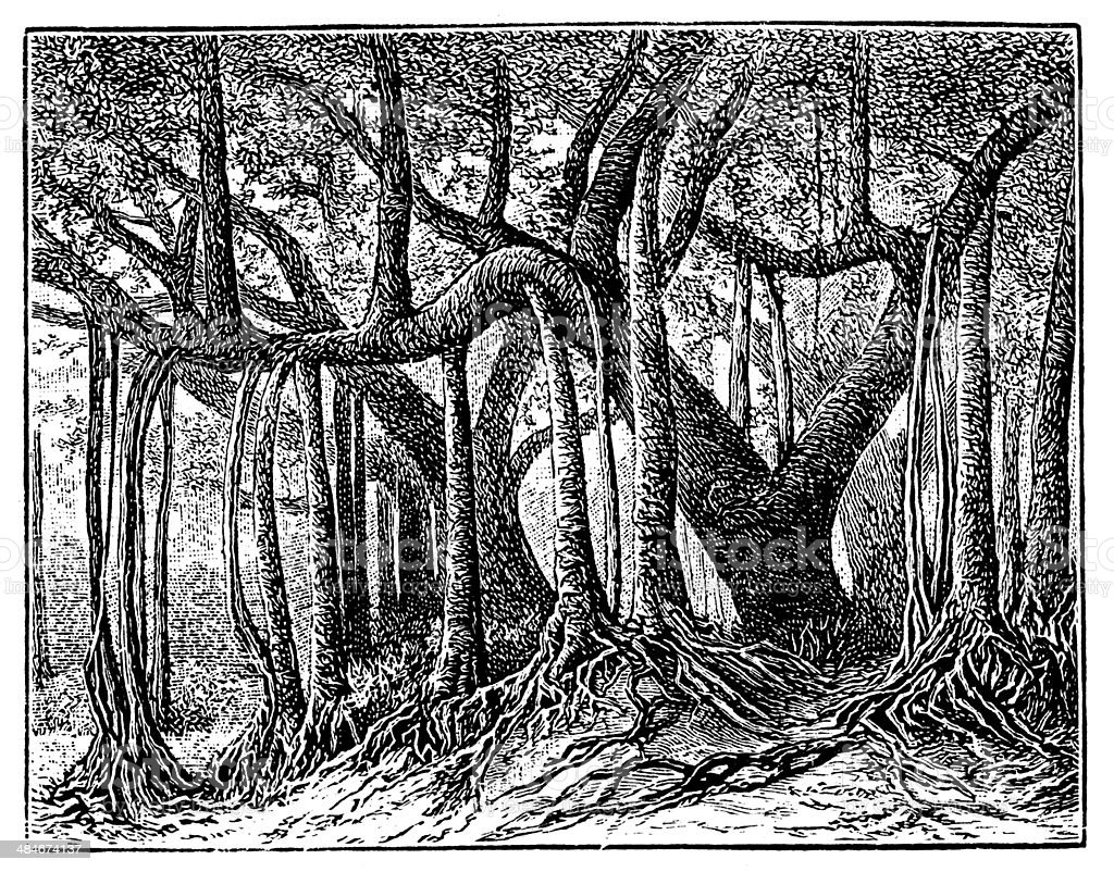 Antique illustration of Banyan tree vector art illustration