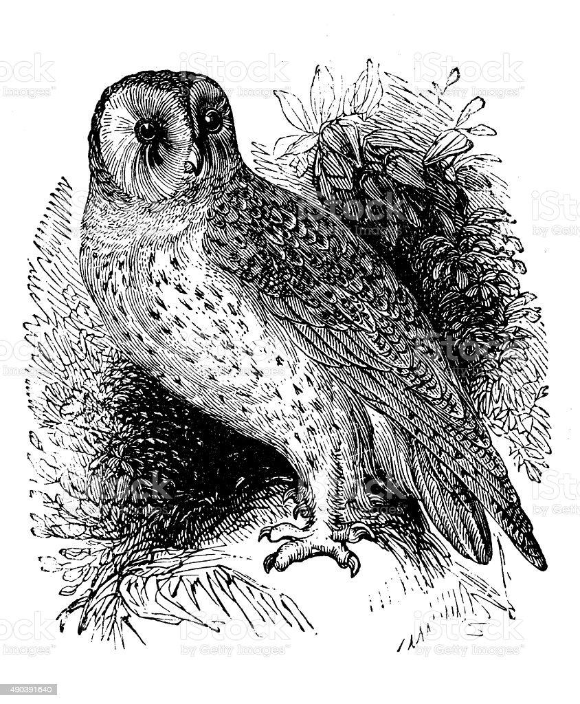 Antique illustration of barn owl (Tyto alba)向量藝術插圖