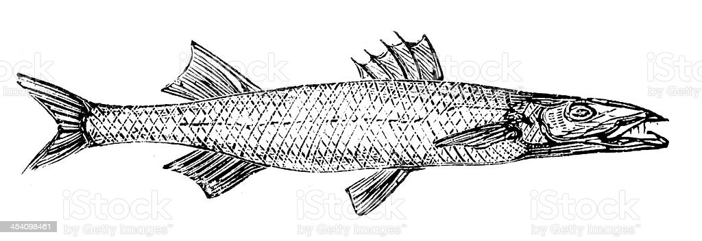 Antique illustration of barracuda vector art illustration