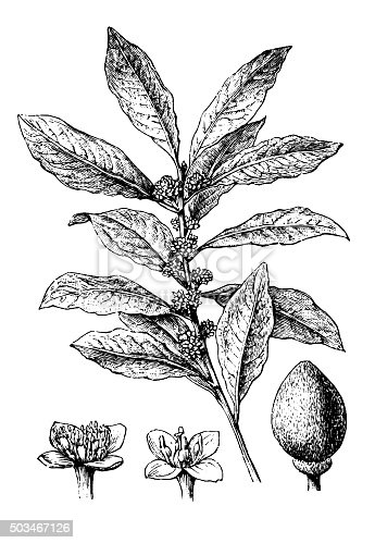 Antique engraving illustration of bay laurel, sweet bay (Laurus Nobilis)